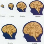 Different Stages of Baby Brain Development